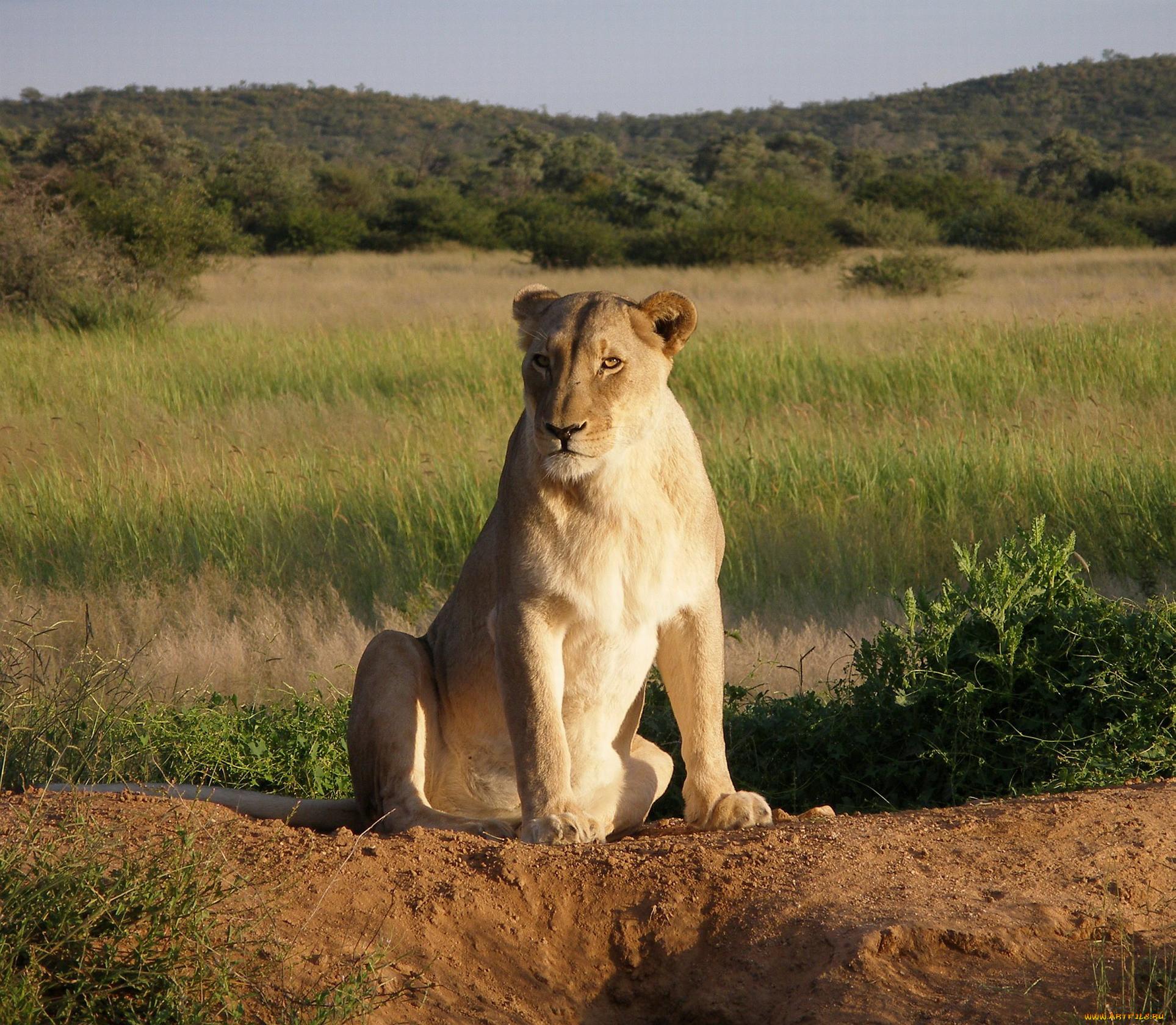 Картинки толстый лев